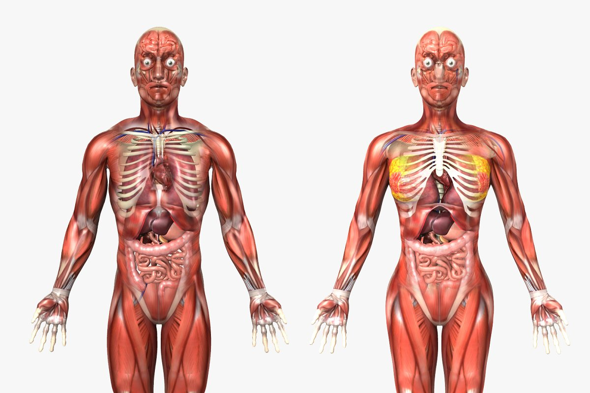 Human Body Diagram Male And Female Human Anatomy