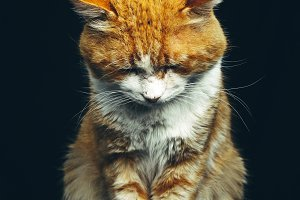 Ginger Cat Animal Portrait