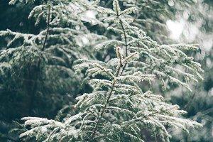 Winter snowy fir tree forest