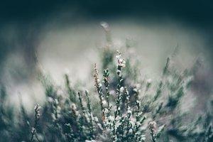 Hoarfrost on heather flower