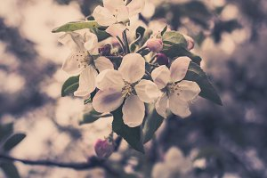 Blooming apple tree