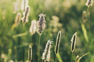 Ear sunny field