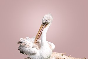 white pelican sitting on a branch