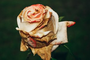 Dried pink rose.