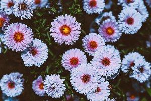 Aster alpinus flowers in the garden