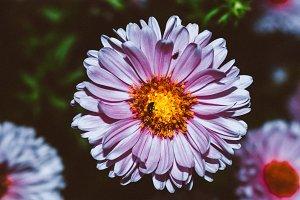 Aster alpinus flower in the garden