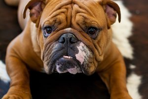English Bulldog 4