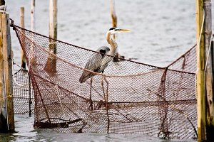 Blue heron on net