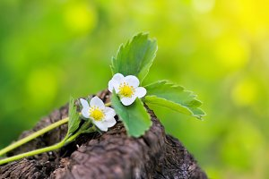 White flowers of strawberry