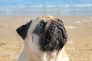 Pug dog portrait and sea