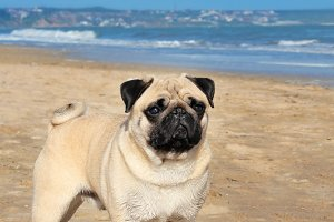 Pug dog and sea