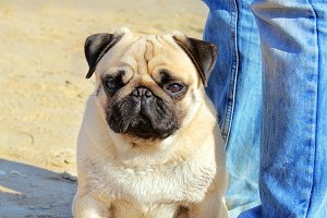 Pug Dog and owner of legs in jeans