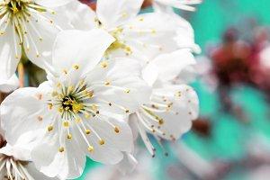 Spring cherry blossoms close-up