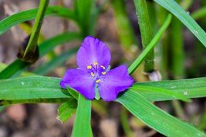 Spiderwort / Tradescantia ohiensis