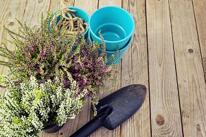 Flowering heather and garden tools