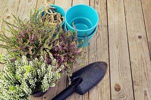 Flowering heather and garden tools