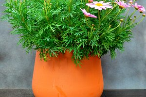 Pink daisies on clay pot
