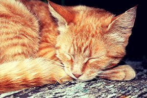 Ginger tabby cat asleep