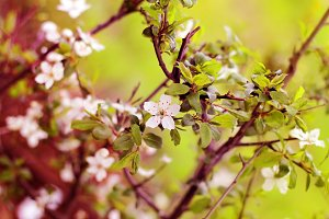 Spring flowers blooming white cherry