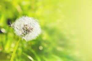 White dandelion on green backgroung