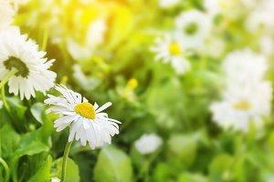 Panorama daisy flowers