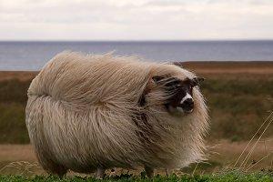 Icelandic sheep (AgNO3)