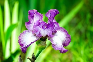 Beautiful flowers of iris.