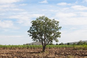 One big tree in the cane fields.