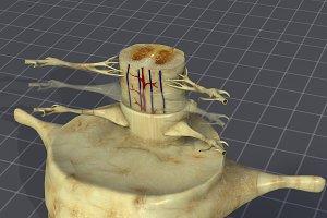 Spinal Cord Anatomy (spinal column)