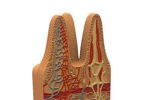 Microbiology - Digestive Villi