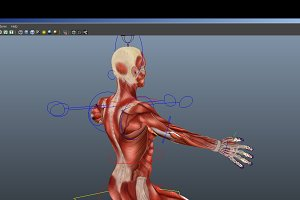 Rigged -Human Female Muscular System