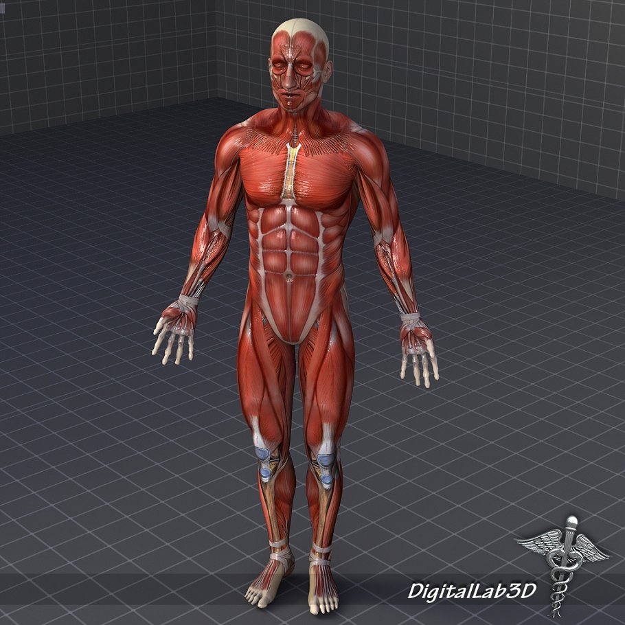 Rigged Human Male Muscular System People Models Creative Market