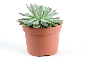 Pot with succulent plants.