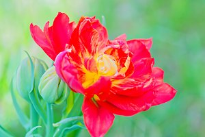 Unusual macro tulip over green background