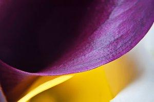 Macro shot of callas