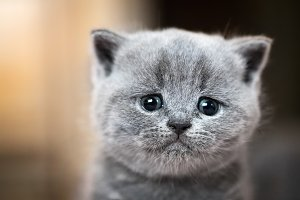 Cute kitten portrait. British Shorth