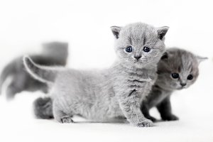 Blue-eyed baby cats standing. Britis