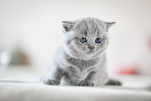 Kitten on bed. British Shorthair