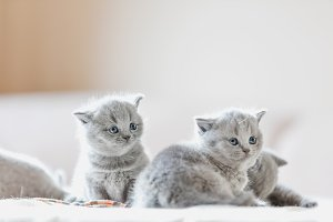 Litter of kittens in home. British S