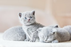 Bunch of little grey cats. British s
