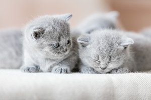 Two cute British shorthair cats.