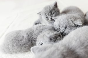 Cuddling cats laying together. Briti