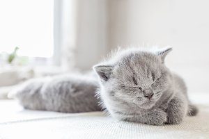 Laying grey cat. British shorthair.