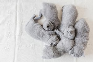 Bunch of fluffy cats. British shorth