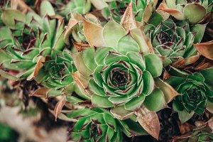 A fleshy succulent stone plant