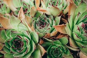 Succulent plant stone