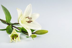 White lilies on blue background.