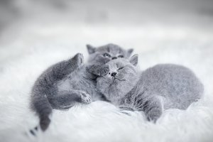 Two playful cuddling little cats
