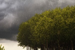 poplars on a stormy day with rain