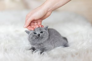Grey tiny kitten stroked by a woman